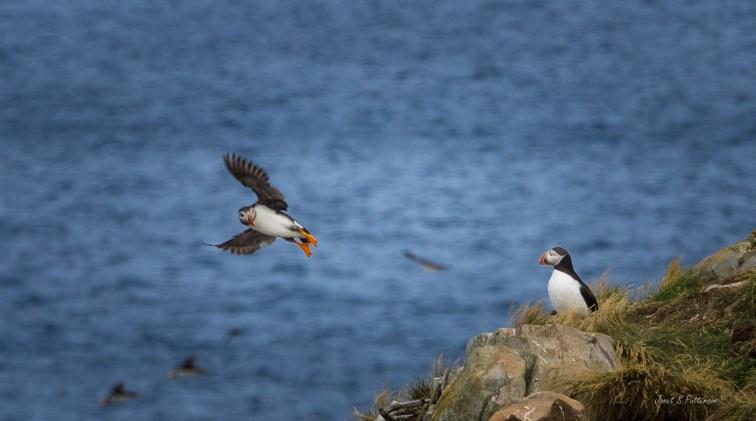 fauna, Puffins, seascape, NL