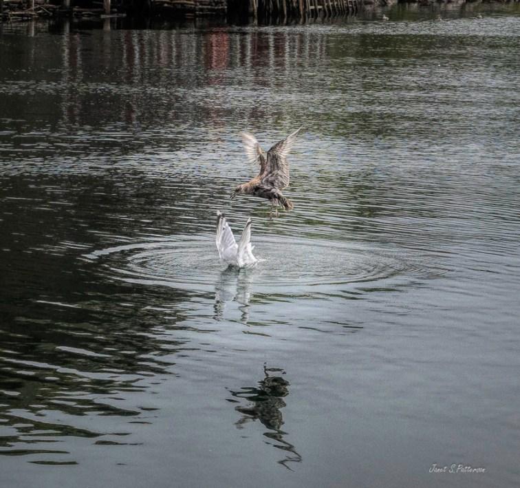 fauna, birds, gulls, seascape, NL, Quidi Vidi Village