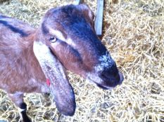 Anglo-Nubian goat at Ouseburn Farm.