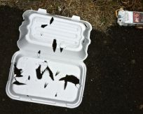 Polystyrene takeaway food container that has been stabbed by a gull or other bird. Rubbish by a seating area in Ouseburn.