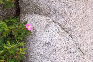 Wild rose growing in a crack of a granite boulder
