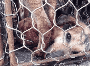 dogmeat_cruelty_Yulin_festival_peta_hsus_dogs_dog_meat_dogmeat_Yulin_china_torture_tradition_cows_meat_janeunchained_velezmitchell_jane