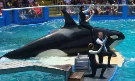 Let the Girl Go: New Round in Battle to Free Lolita, the Orca Held in Small Tank in Miami Seaquarium!