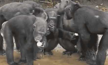 These Chimps in Liberia Have Protesters Descending on Park Avenue! WATCH & FIND OUT WHY!