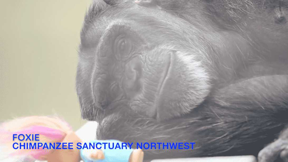 Victory in the Battle to Free Lab Chimps!