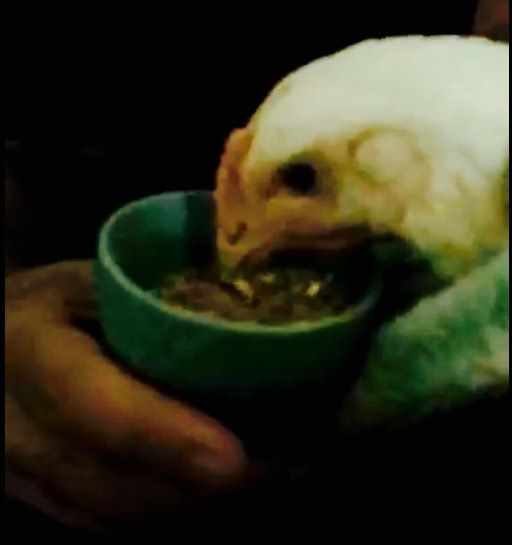 OC Animal Save Rescued Chicken Eating 06:18:17