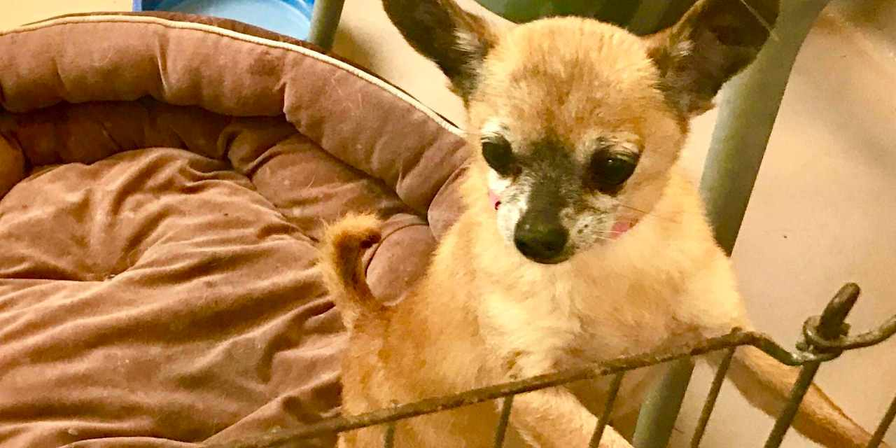 Celebration of Chihuahuas: Save the Chi