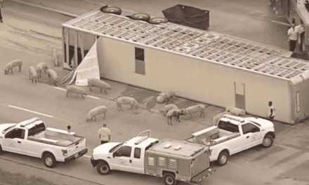 Pig Transport Horror Witness Speaks Out