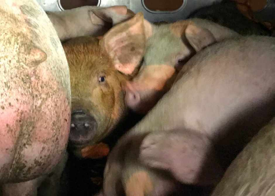LAAS Pigs in truck 2 8:13:17 (2)