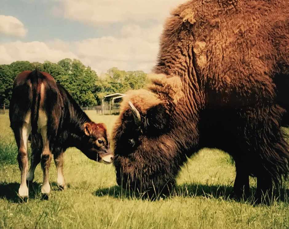 LBL Beth Redwood photo bison and calf