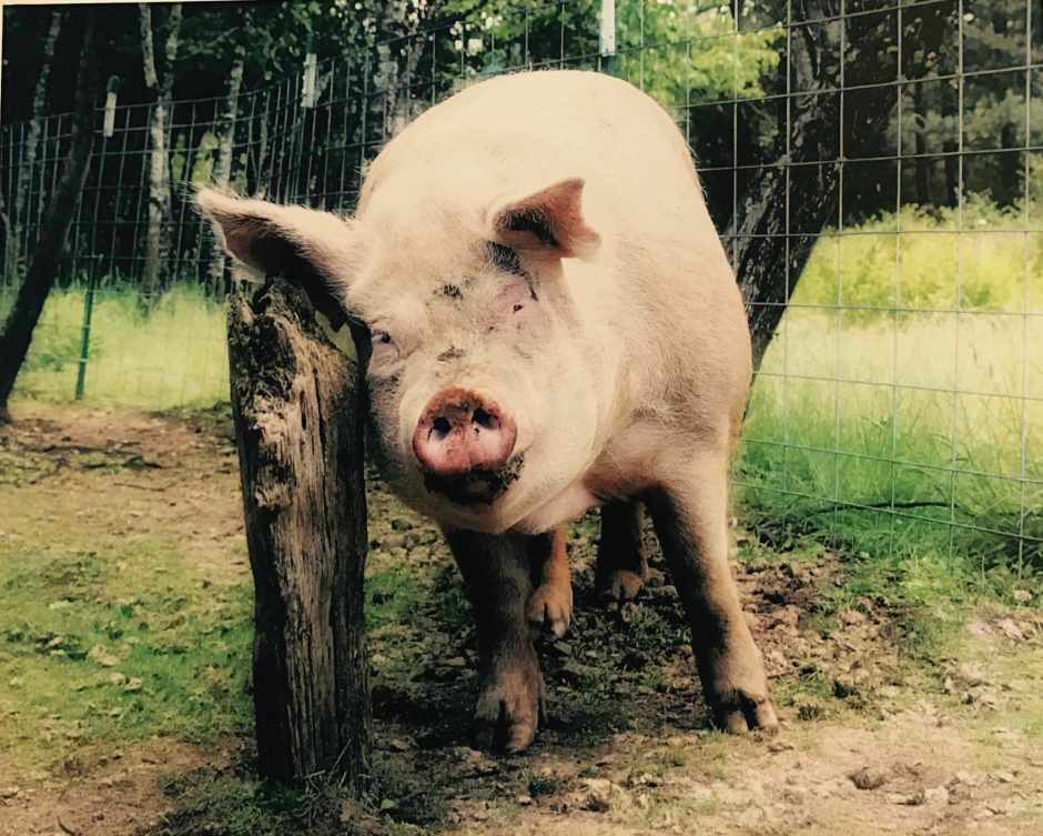 LBL Beth Redwood pig photo