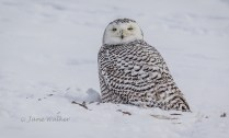 NZ1-Snowy Owl-Nature Zoology2