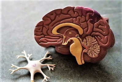 Plastic model of brain, one half slice