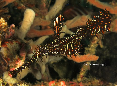 black ornate ghostpipefish copyright