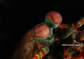 shrimp eyes copyright