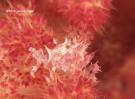 soft coral crab M 6661 copyright