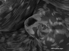 giant clam RA 2828 BW low resolution copyright