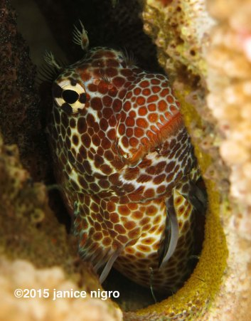 blenny with eggs 8564 adjusted copyright 2015