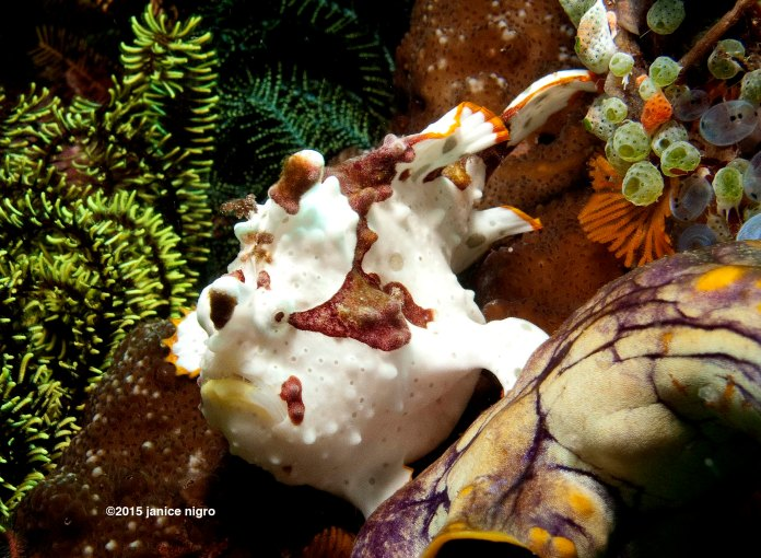 frogfish from day dive copyright