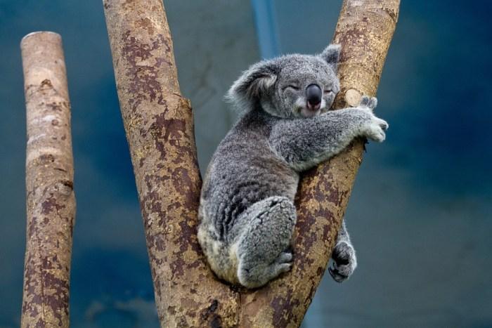 koala-1100469_960_720