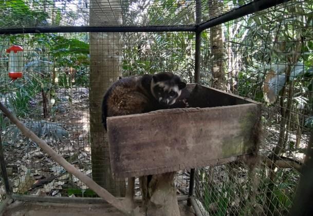 I koniecznie pokazać łaskuna wraz z zapewnieniem, że wszystkie łaskuny, po tutejszemu: luwaki, są na plantacji hodowane na wolności. Żyją w nocy, dzień je oślepia.