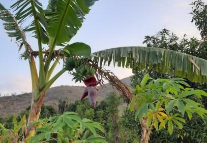 Trzeci kącik zieleni: bananowiec w całej okazałości ;)