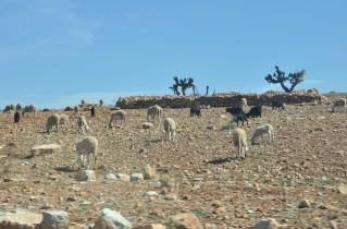 Maroko stoi baraniną.