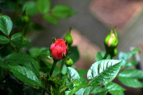 mini rose pink (1024x683)