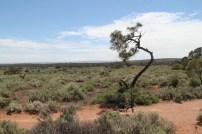 Open Plains Salt Bushes
