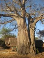 Baobab træ ved luksusteltene