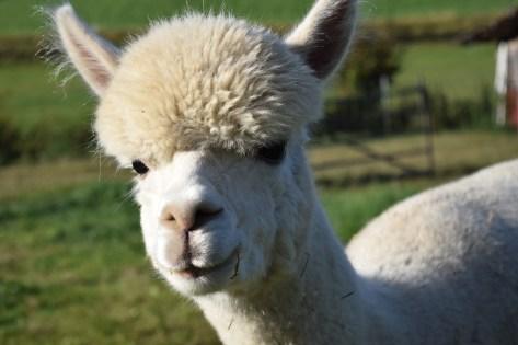 alpaca-1668519