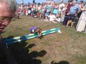 Pig hurdle race