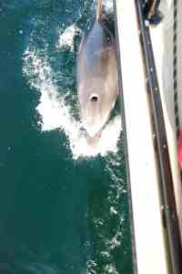 Dolphin rubbing its back against our boat