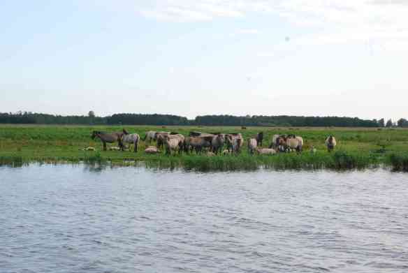Pferde am Lauwersmeer