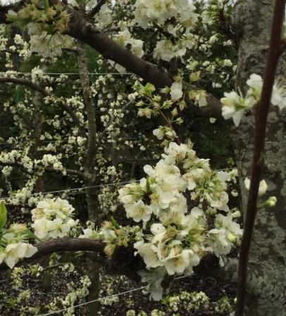 Blossoms.jpg