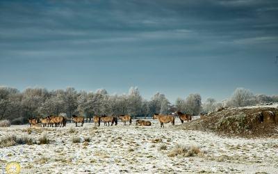 Konikspaarden, Landgoed Ennemaborgh, Midwolda, Winter