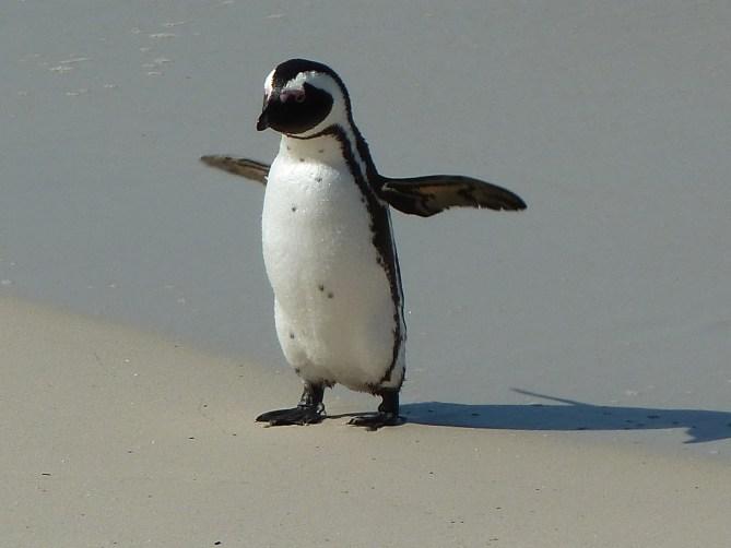 Boulders beach Kaapstad Zuid-Afrika