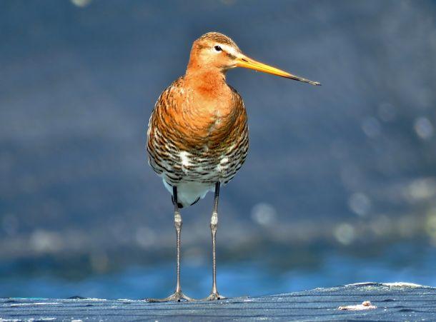 De grutto: wat is het toch een schitterende vogel. Ton Wesselius maakte op maandag 23 april deze foto.