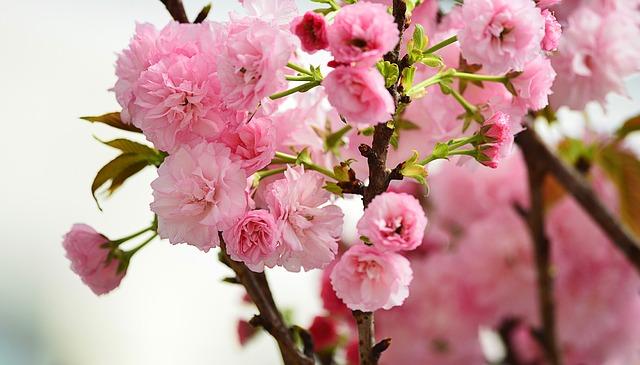 Cherry_Blossoms_travel-685571_640