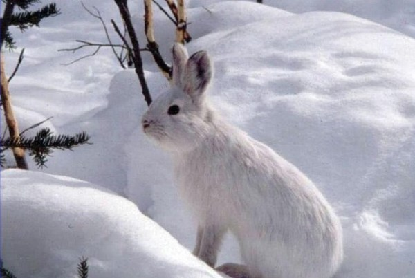 snowshoe-hare-938420_640