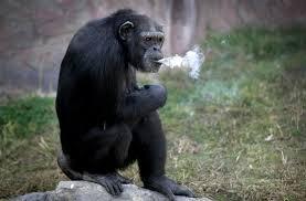 北朝鮮の愛煙家チンパンジー「タバコよりストレスが短命の原因だわ」