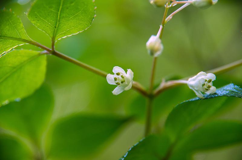 ミツバウツギ(三葉空木、学名:Staphylea bumalda)