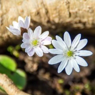 ミスミソウ(三角草、学名:Hepatica nobilis)