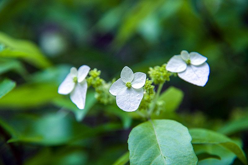 ガクウツギ(額空木、学名:Hydrangea scandens)