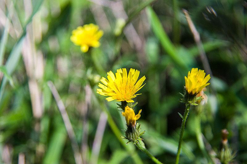 コウゾリナ(剃刀菜・顔剃菜、学名:Picris hieracioides subsp. japonica)