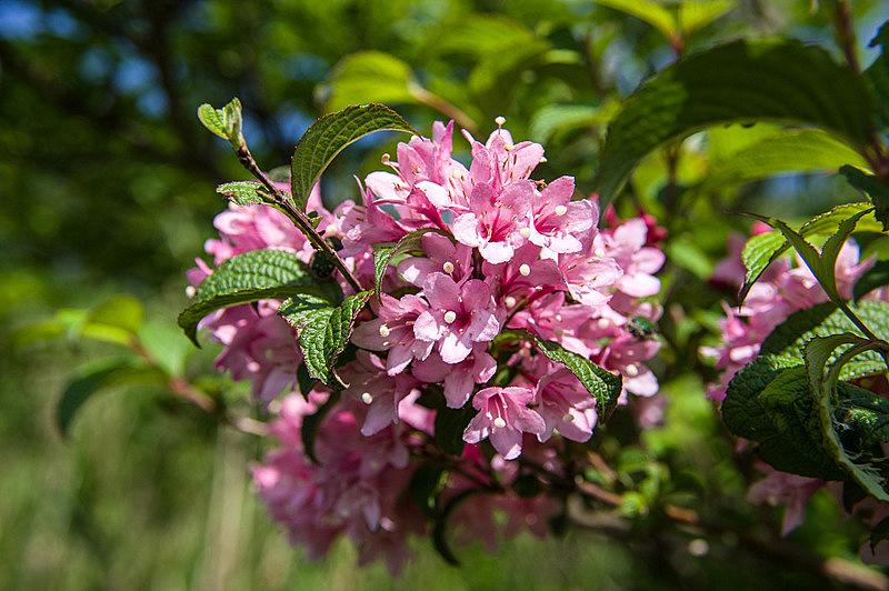 タニウツギ(谷空木、学名:Weigela hortensis)