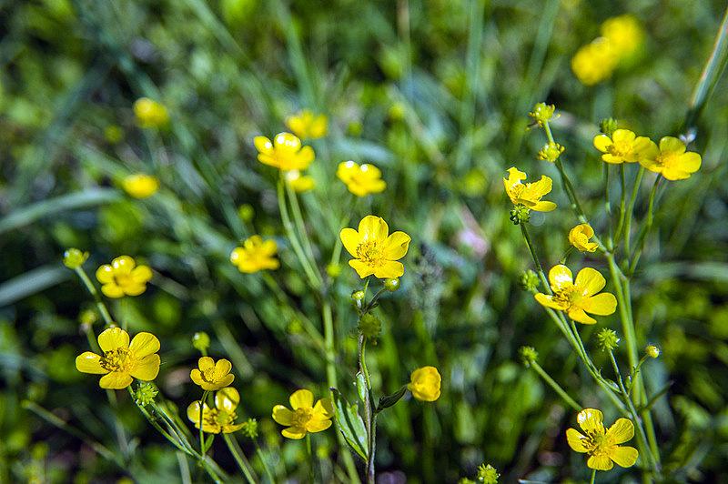 ウマノアシガタ(馬の足形、毛茛、学名:Ranunculus japonicus)
