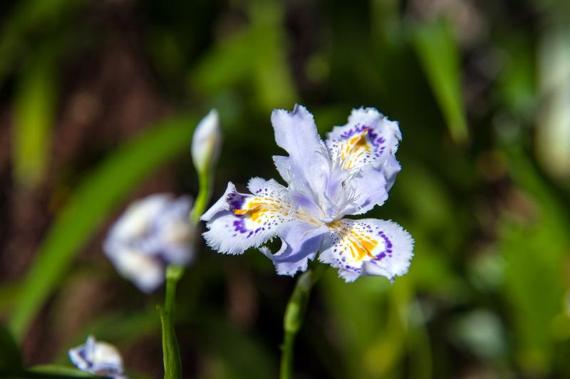 シャガ(射干、著莪、胡蝶花、学名:Iris japonica)