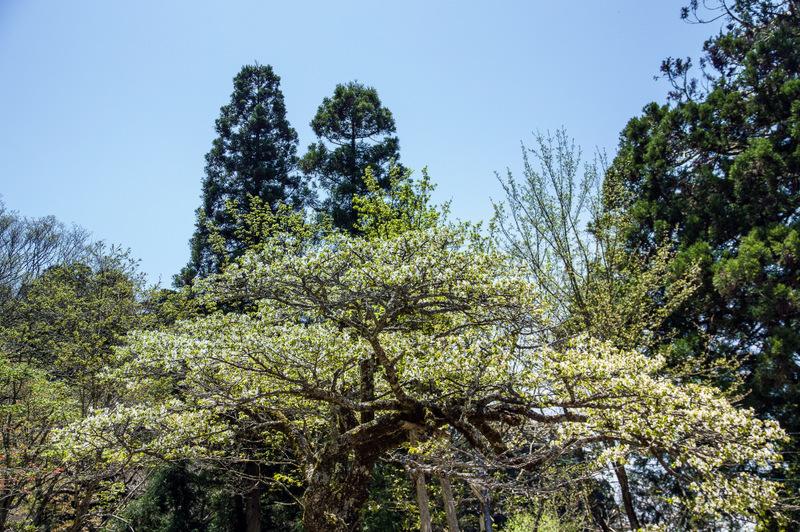 うす緑色の花を咲かせる「金剛桜」