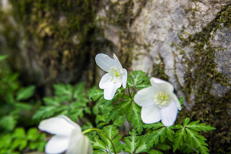 イチリンソウ(一輪草、学名:Anemone nikoensis Maxim.)